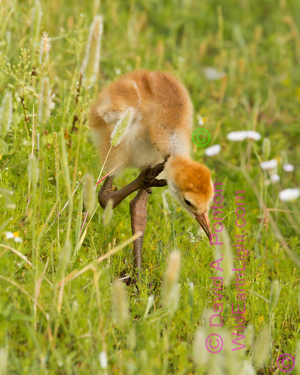 Sandhill crane downy young pauses to scratch, showing thick legs and stubby claws on its feet, © 2014 David A. Ponton