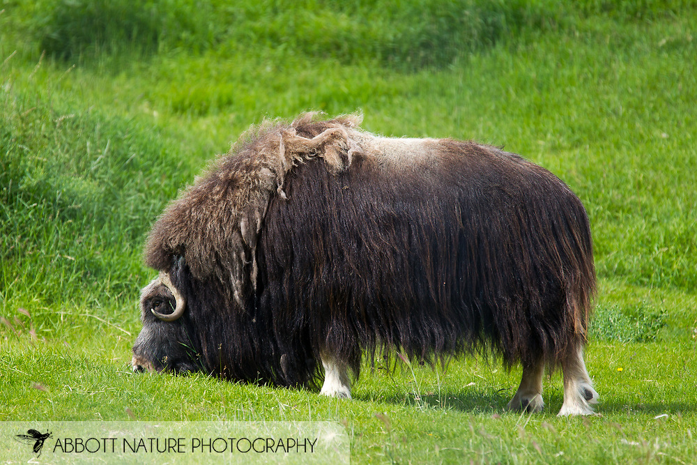 Musk Ox or Muskox (Ovibos moschatus) - cow<br /> ALASKA: Fairbanks North Star<br /> University of Alaska Large Animal Research Station<br /> 6-July-2012 64.87766, -147.86941<br /> J.C. Abbott &amp; K.K. Abbott