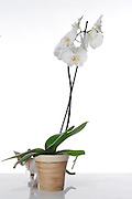 White Phaleanopsis Orchid on white background with kitten