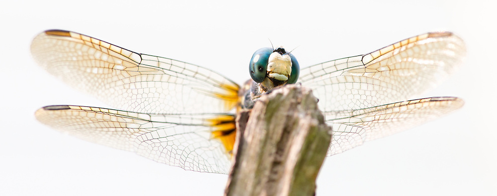 This beautiful dragonfly amazingly cooperated with a macro lens photo shoot