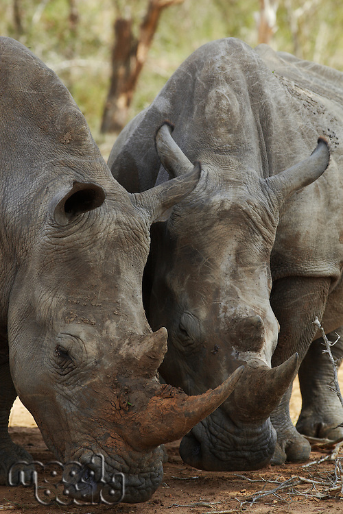 Two Rhinoceros nose the ground