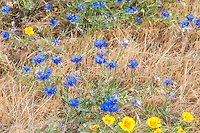 A field in Southern Washington is awash in a dazzling display of brightly colored wildflowers. Predominant are the brilliantly blue cornflowers, as well as wild poppies, asters, lilies, and wild peas.