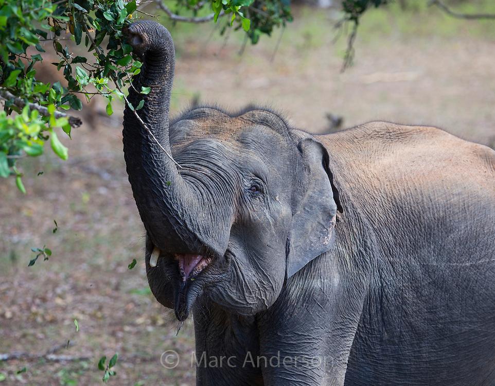 Sri Lankan elephant (Elephas maximus maximus) a subspecies of Asian Elephant browsing on the foliage of a tree in Yala National Park, Sri Lanka