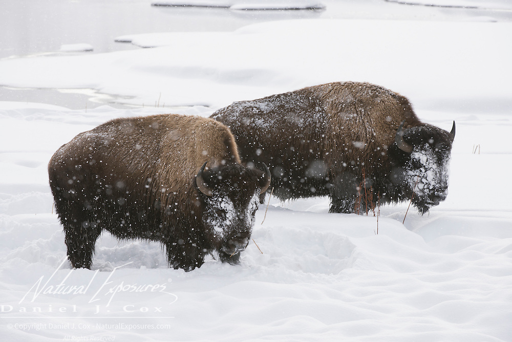 A pair of large bison bulls. Yellowstone National Park