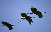 Wildlife: Sandhill Cranes