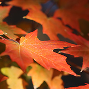 """Maple Light"" <br />