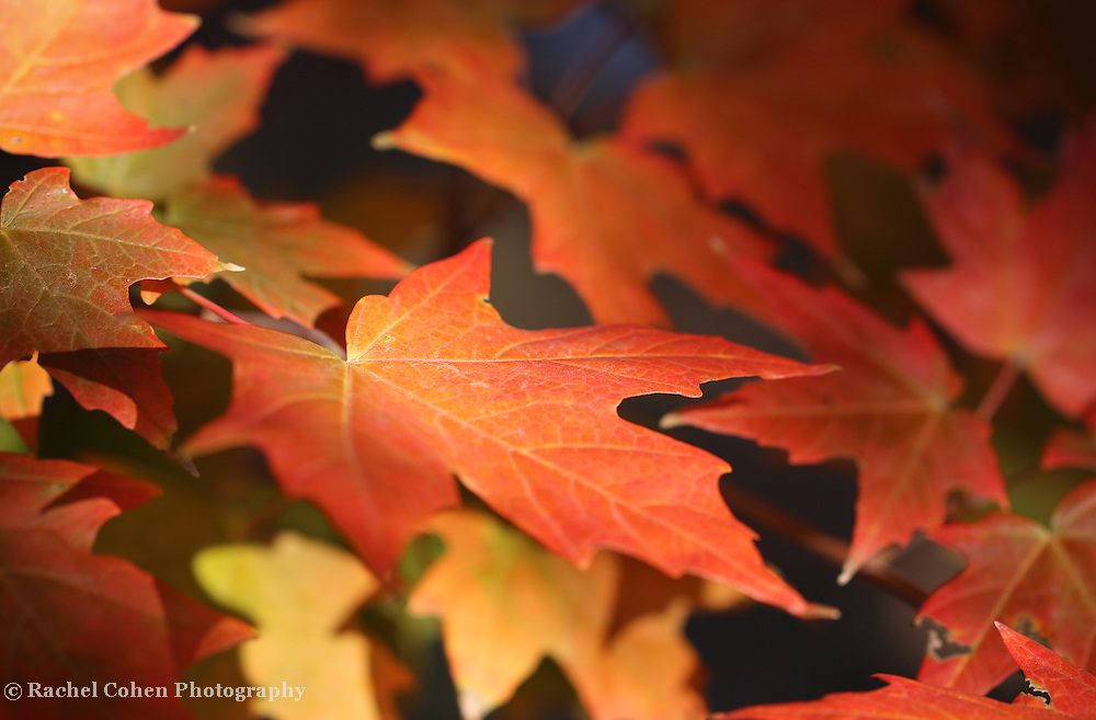 &quot;Maple Light&quot; <br /> <br /> Gorgeous orange and red maple leaves in the autumn sunlight!