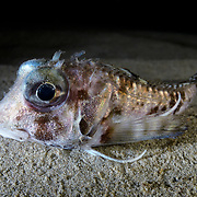 This is a rarely sighted Marukawaichthys ambulator, a species of bullhead sculpin that normally resides at depths of several hundred meters in the waters around Japan.