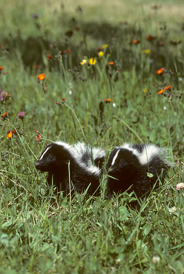 Striped Skunk, (Mephitis mephitis) Two young skunks crossing meadow of blooming wildflowers. Summer. Captive Animal.