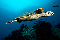 Hawksbill Turtle gliding above the reef.Shot in West Papua Province, Indonesia