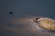 Aerial view of an African darter in flight over a Nile crocodile, Crocodylus niloticus,  in the water and one on the bank.