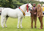 Snow connemara ponies