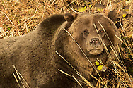 This large male grizzly spent weeks foraging for food in the high country of northwest Wyoming this autumn. Appearing to weigh upwards of 500 pounds, no other bear dared enter his territory while he was there.  Can you blame them?