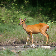 Female Red (or common) Muntjac Deer, Muntiacus muntjac, also known as a barking deer in Huai Kha Kaeng, Thailand.