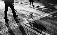 Dog crossing the Central Park Drive on the East side at 83rd street