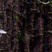 The Luminous Fungi (Filoboletus manipularis) growing from tree bark in the Pang Sida national Park, Thailand.