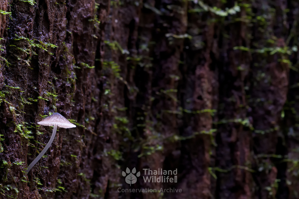 The Luminous Fungi (Filoboletus manipularis) growing from tree bark in the Pang Sida national Park, Thailand.