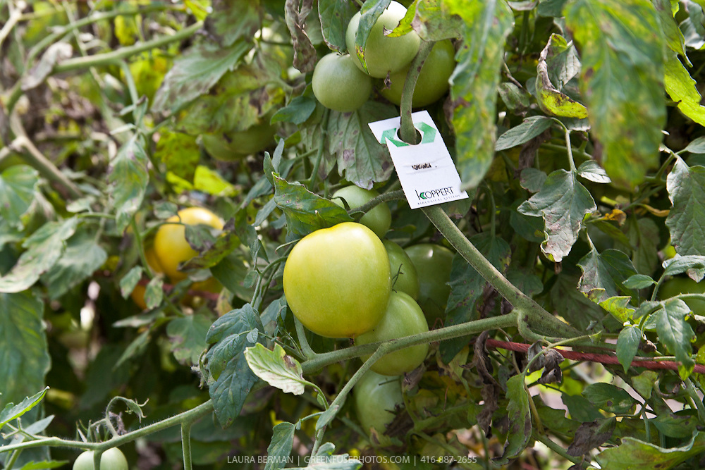 Yellow sticky card insect traps protect tomato plants in a greenhouse.