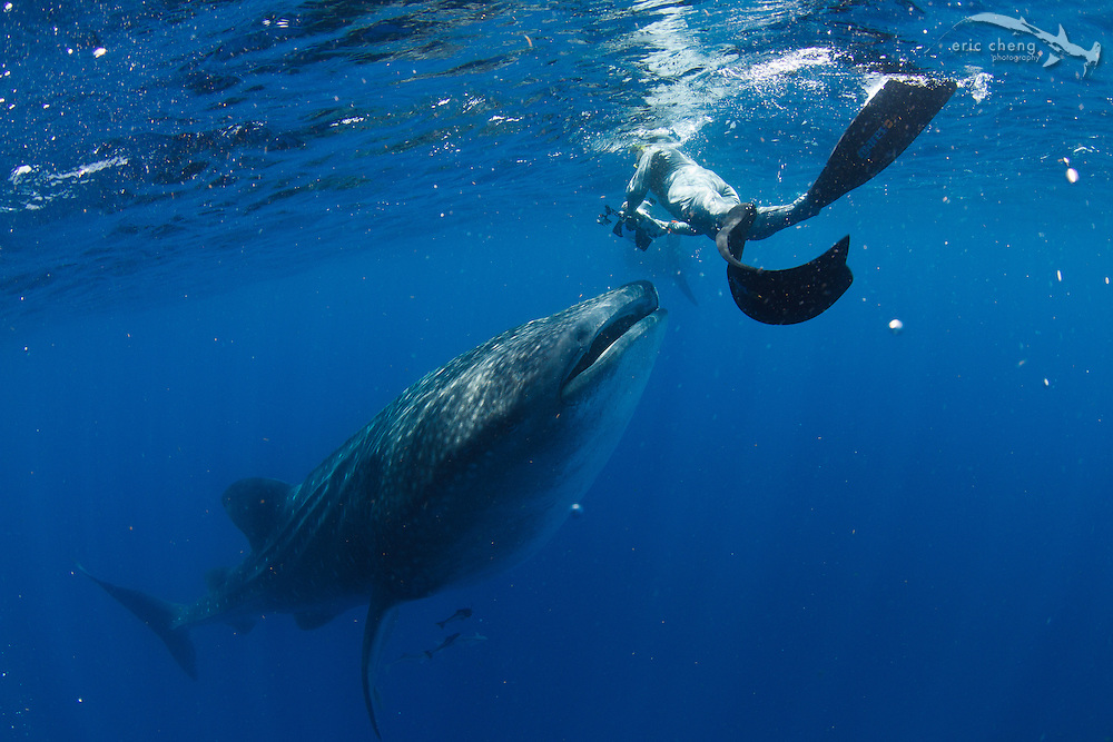 Douglas Seifert photographs a whale shark botella. Whale shark (Rhincodon typus) at a feeding aggregation off of Isla Mujeres, Mexico