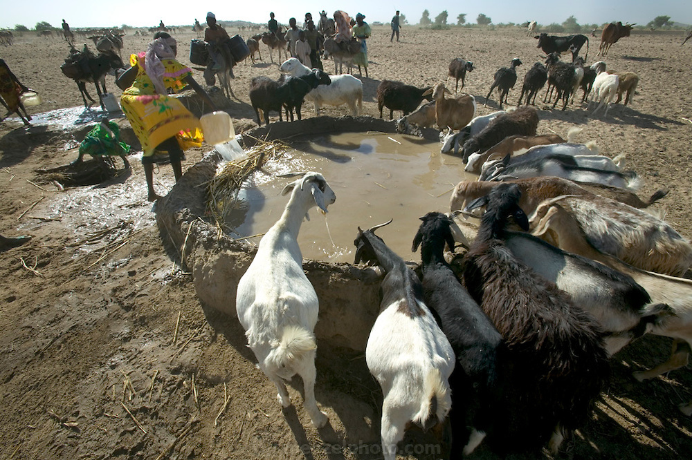 To water their animals, Amna Mustapha (wearing yellow dress) and a cousin must first dip plastic containers into a six-foot well. They then pour the water into a low earthen-walled pool from which the animals drink (the millet stalks at the edge of the trough keep the cascading water from breaking down the wall). Families take turns using the pools, which must be rebuilt often and will ultimately wash away during the rainy season. (Supporting image from the project Hungry Planet: What the World Eats)