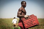 Boreano, Basilicata, Italia, 25/08/2012 <br /> I lavoratori stagionali impegnati nella raccolta dei pomodori nella zona dell'Alto Bradano<br /> <br /> Boreano, Basilicata, Italy, 25/08/2012 <br /> Seasonal workers taken on tomato harvesting in the Alto-Bradano area.
