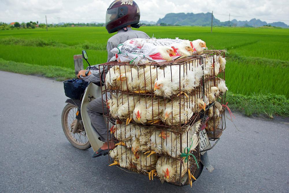 Chickens loaded motorbike, Hanoi, Vietnam.