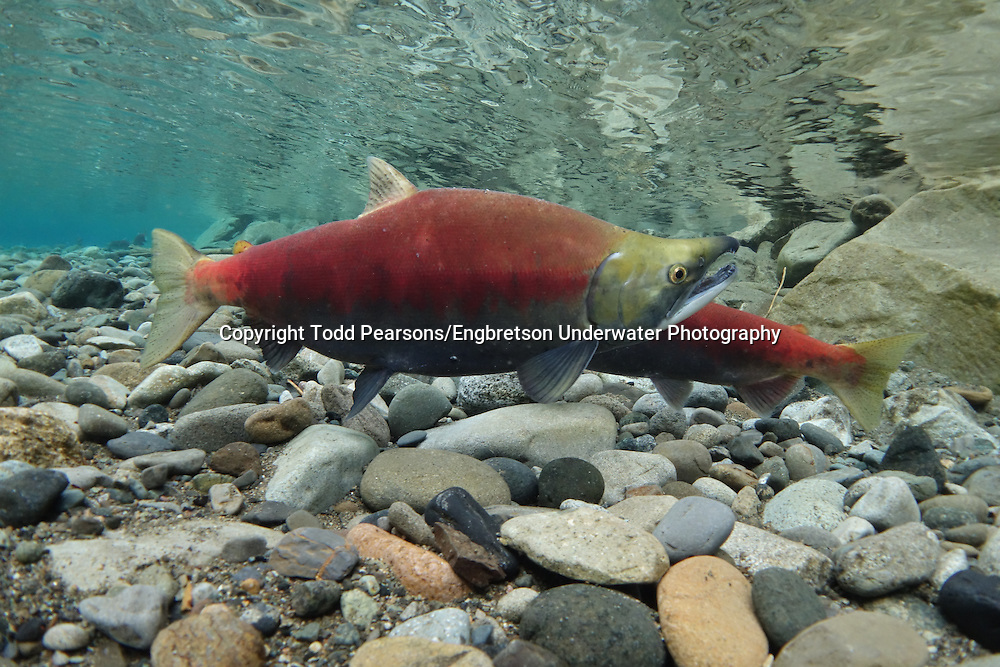Sockeye Salmon (spawning pair)<br />