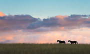As the vivid sunset of summer sets, these horses playfully gallop along the ridgeline.