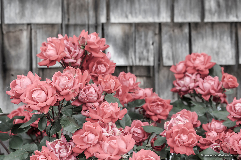 Rustic, weathered cedar shakes and roses at Duck, NC on the Outer Banks.