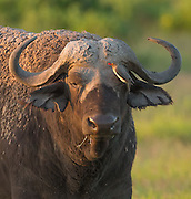 Cape Buffalo enjoying his daily cleaning from the Red-billed Oxpecker.
