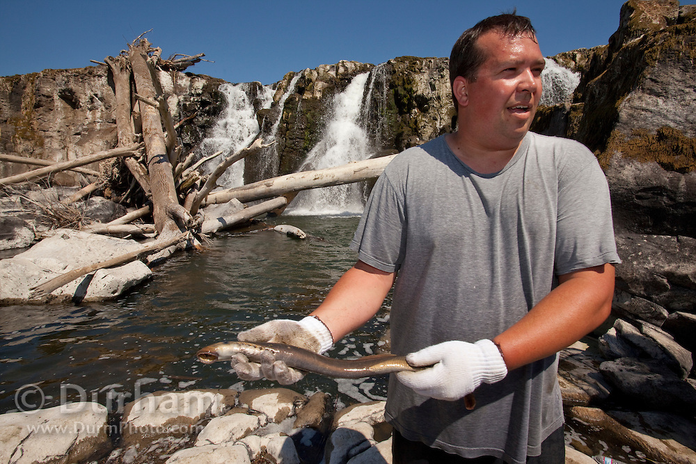 Umatilla tribe member and fisheries biologist Aaron Jackson holds a pacific lamprey (Lampetra tridentata) collected from Willamette Falls. Water flowing over Willamette Falls (background) was restricted so tribe memebers from the Columbia River Basin could exercise their treaty rights to fish for lamprey.