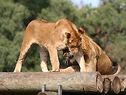 male and female african lion