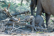 Living in the heart of the Kaokoland and Damaraland regions in the far north of Namibia, one finds herds of desert adapted elephant that survive the harsh climate of the desert with very little water.