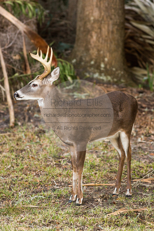 A deer roams freely in a residential garden on Fripp Island, SC.