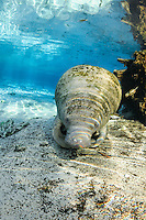 Florida manatee, Trichechus manatus latirostris, a subspecies of the West Indian manatee, endangered. A manatee rests on the sand by submerged tree roots. Fish, bream, Lepomis spp., are present. Vertical orientation, tranquil blue water and beautiful rainbow sun rays. Three Sisters Springs, Crystal River National Wildlife Refuge, Kings Bay, Crystal River, Citrus County, Florida USA.
