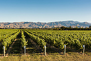Vineyards in evening light, Marlborough Region, South Island.
