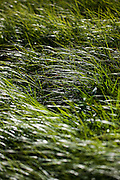 Meadow grass on the Blacktail Deer Plateau, Yellowstone National Park, Wyoming.