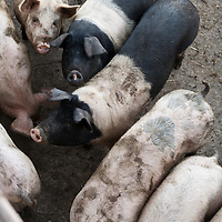 Black and white pigs crowding towards their trough.