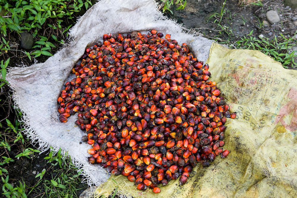 Palm fruit collected from the 22,000 hectare palm oil plantation of the Sinarmas Group. More than 11,000 workers are employed on the plantation, which contains its own village in Papua, Indonesia, Sept. 4, 2008..Daniel Beltra/Greenpeace