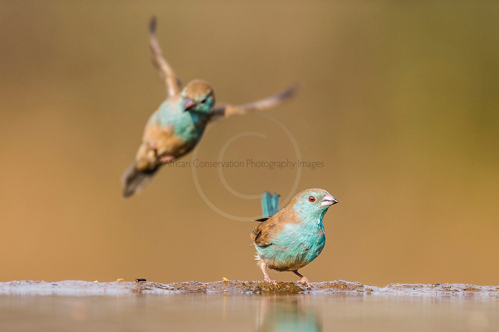 Blue Waxbill flying into land at the waters edge, Zimanga Game Reserve, KwaZulu Natal, South Africa