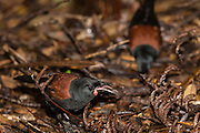 Saddleback are quite vulnerable to predation by mammals as it busies itself on the forest floor.  However, being now established on 11 offshore islands, the saddleback is no longer regarded as endangered.
