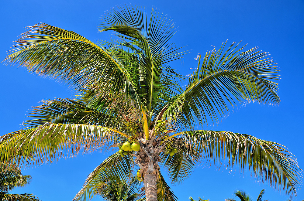 Coconut Palm Tree at Riviera Maya, Mexico<br />