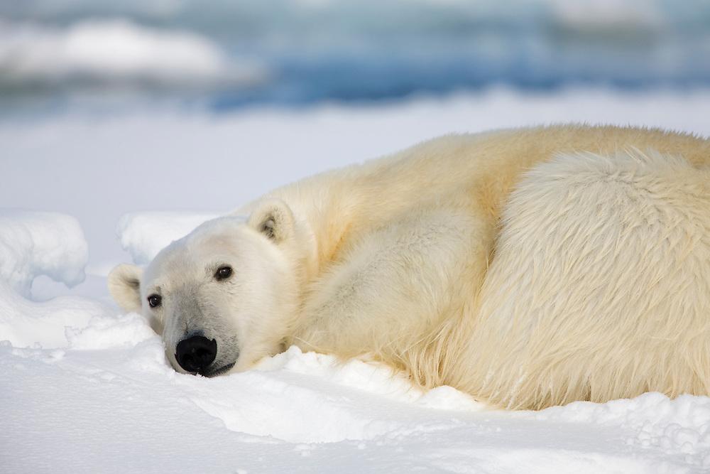 Norway, Svalbard, Spitsbergen Island, Polar Bear (Ursus maritimus) resting on snow-covered iceberg along northern coastline