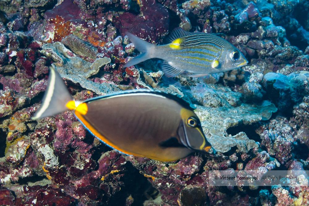 Surgeonfish-poisson chirurgien (Acanthuridae), Moorea island, French Polynesia.