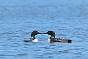 Common loon (Gavia immer) on English River<br />Ear Falls<br />Ontario<br />Canada