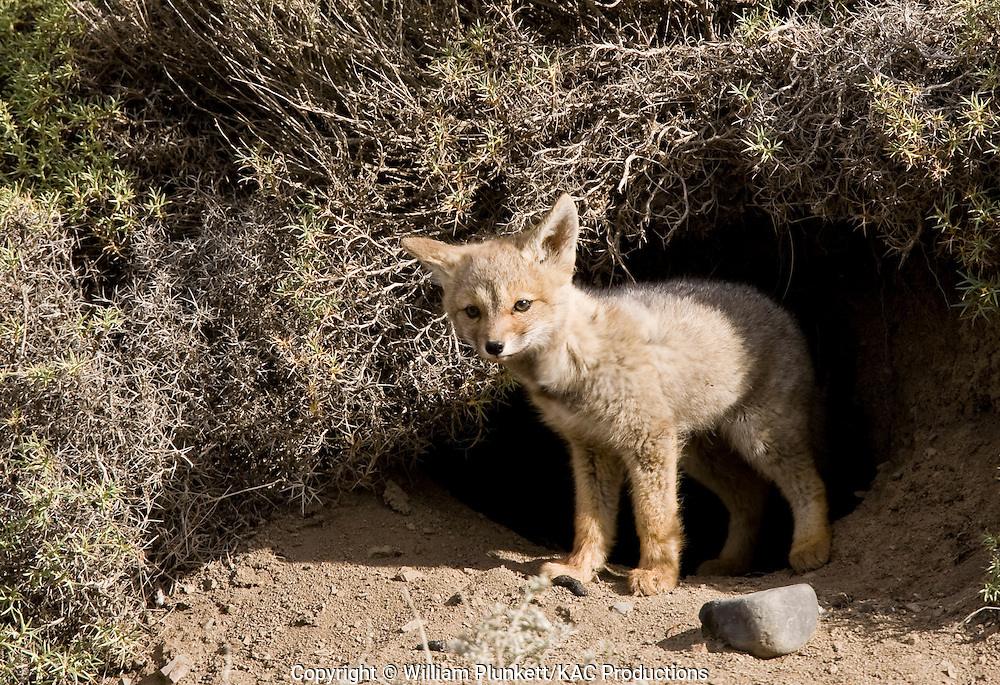 Andean Fox (Lycalopex culpaeus), also known as the Patagonian Fox or Culpeo, Torres del Paine National Park, Chile