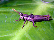 Unidentified grasshopper from La Selva, Ecuador.