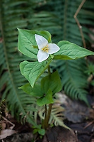 A perfect example of a pair of western trilliums growing in the damp humus of a forest in Washington State on the side of a steep ravine. The smaller one will most likely go into flower as the current one is fading.