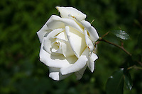 A white rose growing in a garden