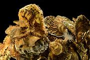 [captive] European flat oyster (Ostrea edulis) | Europäische Auster (Ostrea edulis)